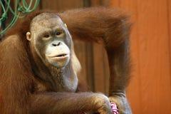 καφετής πίθηκος Στοκ φωτογραφία με δικαίωμα ελεύθερης χρήσης