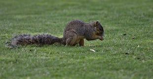 Καφετής σκίουρος που τρώει ένα καρύδι στοκ φωτογραφίες
