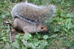Καφετής σκίουρος στοκ φωτογραφία