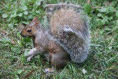 Καφετής σκίουρος στοκ εικόνα με δικαίωμα ελεύθερης χρήσης
