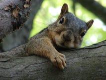 καφετής σκίουρος Στοκ Εικόνες