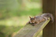 Καφετής σκίουρος Στοκ φωτογραφία με δικαίωμα ελεύθερης χρήσης