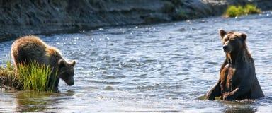 Καφετής σταχτύς της Αλάσκας αντέχει την αλιεία μητέρων και Cub Στοκ Εικόνα