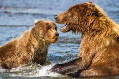 Καφετής σταχτύς της Αλάσκας αντέχει τη μητέρα και Cub Στοκ Εικόνες