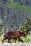Καφετής σταχτύς της Αλάσκας αντέχει το εθνικό πάρκο του Clark λιμνών Στοκ Φωτογραφίες
