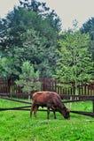 καφετής ταύρος Στοκ φωτογραφίες με δικαίωμα ελεύθερης χρήσης