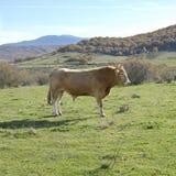 καφετής ταύρος στοκ εικόνα