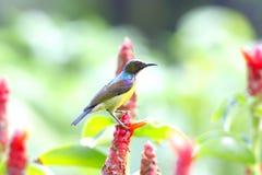 Καφετής-το malacensis Sunbird Anthreptes Στοκ Φωτογραφίες
