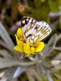 Καφετής-φλεβώδης πεταλούδα στοκ εικόνα