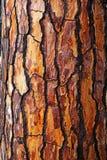 Καφετής φλοιός του δέντρου πεύκων Στοκ εικόνα με δικαίωμα ελεύθερης χρήσης