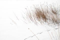 Καφετής χλόη ή κάλαμος στο άσπρο χιόνι Στοκ Φωτογραφία