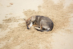 Καφετής ύπνος σκυλιών στην παραλία Στοκ Εικόνες