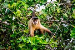 Καφετής Capuchin πίθηκος που προσέχει πολύ Στοκ φωτογραφία με δικαίωμα ελεύθερης χρήσης