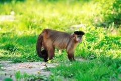 Καφετής Capuchin πίθηκος Στοκ φωτογραφία με δικαίωμα ελεύθερης χρήσης