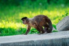 Καφετής Capuchin πίθηκος Στοκ Φωτογραφίες