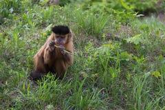 Καφετής Capuchin πίθηκος, apella Cabus Στοκ Εικόνα