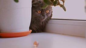 Καφετής-eyed σκωτσέζικη κινηματογράφηση σε πρώτο πλάνο γατών πτυχών Η γάτα είναι σκούρο γκρι με μακρυμάλλη απόθεμα βίντεο