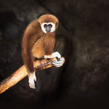 Καφετής gibbon Στοκ Εικόνα