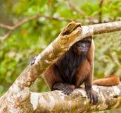 Καφετής Woolly πίθηκος στοκ εικόνα