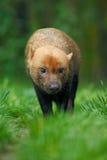 Καφετί άγριο σκυλί του Μπους, venaticus Speothos, από το τροπικό δάσος του Περού στοκ εικόνες