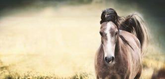 Καφετί άλογο με ένα άσπρο λωρίδα στο πρόσωπο στο υπόβαθρο φύσης, έμβλημα Στοκ Εικόνες