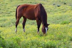 καφετί άλογο πεδίων Στοκ Εικόνα