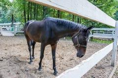 Καφετί άλογο που στέκεται στη μάντρα με στοκ φωτογραφίες