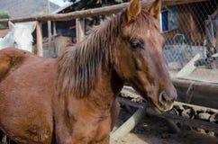 Καφετί άλογο σε ένα αγρόκτημα στοκ εικόνα με δικαίωμα ελεύθερης χρήσης