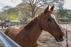 Καφετί άλογο σε μια σιταποθήκη στοκ φωτογραφίες με δικαίωμα ελεύθερης χρήσης