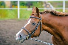 Καφετί άλογο στον ιππόδρομο Στοκ Φωτογραφίες