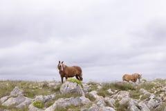 Καφετί άλογο στο πράσινο πεδίο Στοκ φωτογραφίες με δικαίωμα ελεύθερης χρήσης