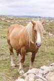 Καφετί άλογο στο πράσινο πεδίο Στοκ Φωτογραφίες