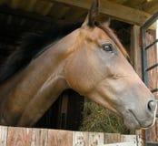 καφετί άλογο στοκ φωτογραφίες με δικαίωμα ελεύθερης χρήσης