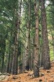 Καφετί δάσος πεύκων δέντρων στοκ φωτογραφία