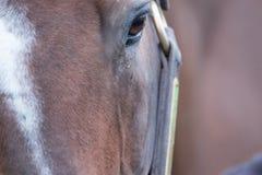 Καφετί άλογο κούρσας Στοκ Εικόνα