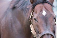 Καφετί άλογο κούρσας Στοκ εικόνες με δικαίωμα ελεύθερης χρήσης