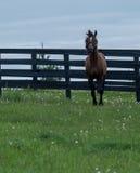 Καφετί άλογο κούρσας Στοκ φωτογραφία με δικαίωμα ελεύθερης χρήσης
