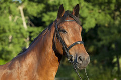 Καφετί άλογο με το χαλινάρι Στοκ Εικόνες