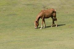 Καφετί άλογο σε πράσινο Στοκ φωτογραφία με δικαίωμα ελεύθερης χρήσης