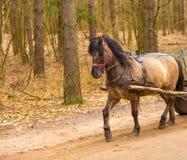 Καφετί άλογο στο λουρί Στοκ εικόνες με δικαίωμα ελεύθερης χρήσης