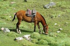 Καφετί άλογο στο πράσινο λιβάδι Στοκ εικόνα με δικαίωμα ελεύθερης χρήσης