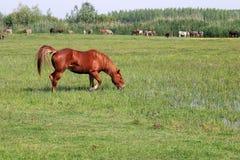 Καφετί άλογο στο πράσινο πεδίο Στοκ Εικόνα