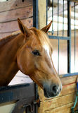 Καφετί άλογο στο στάβλο Στοκ Εικόνες