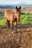 Καφετί άλογο στο στρατόπεδο στο αγρόκτημα της Apple Στοκ φωτογραφία με δικαίωμα ελεύθερης χρήσης