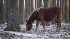 Καφετί άλογο στο χειμερινό δάσος 1 απόθεμα βίντεο