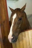 καφετί άλογο Στοκ εικόνες με δικαίωμα ελεύθερης χρήσης