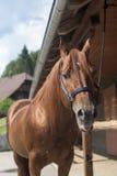 καφετί άλογο Στοκ Φωτογραφίες