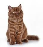 Καφετί βρετανικό μακρυμάλλες γατάκι Στοκ Φωτογραφία