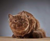 Καφετί βρετανικό μακρυμάλλες γατάκι Στοκ εικόνα με δικαίωμα ελεύθερης χρήσης
