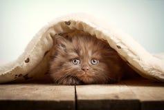 Καφετί βρετανικό μακρυμάλλες γατάκι Στοκ Φωτογραφίες